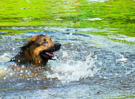 a swimming shepherd photo
