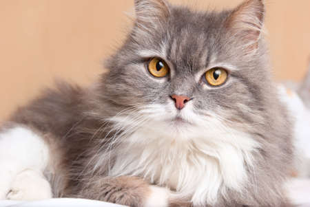 gray cat: persian cat