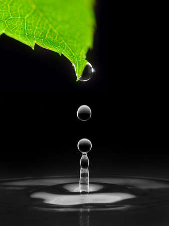 water drops falling down from green leaf, isolated on black photo