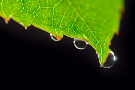 dew drops on green leaf isolated on black  photo