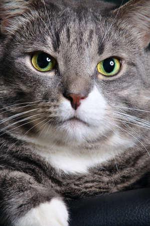 closeup of a huge cat  photo