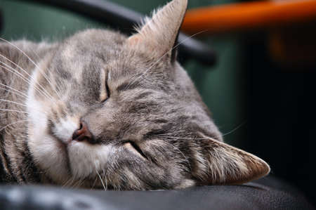 closeup of a head of sleeping cat photo