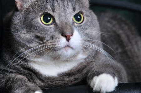 closeup of a big cat looking upwards photo
