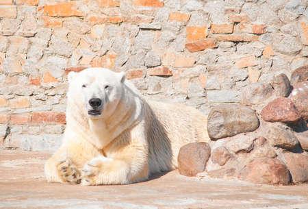 sluggish: polar bear