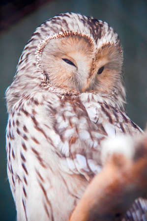 Ural Owl Stock Photo - 10364869