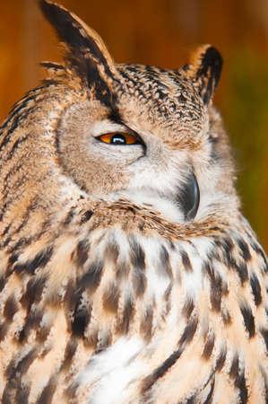 wise old owl: Eurasian Eagle-owl