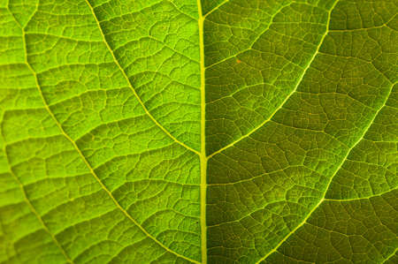 close up view of fresh green leaf texture Stock Photo - 13642297