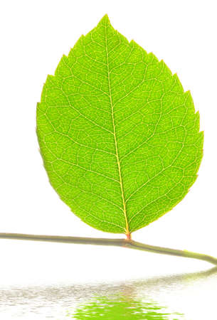 closeup of green leaf on stem over water isolated on white photo