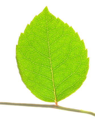 closeup of green leaf on stem isolated on white photo