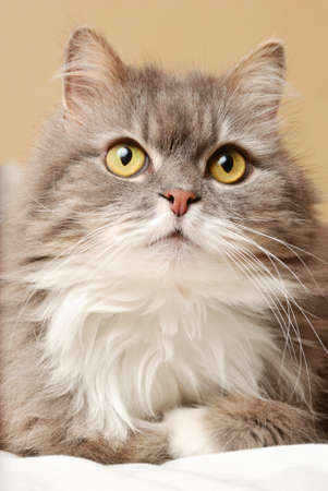 persian cat on bed Stock Photo - 13642054