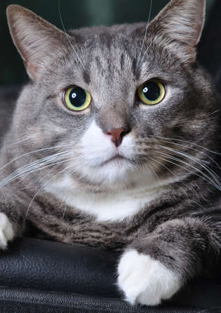 adore: closeup of a huge cat