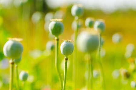 papaver: Papaver flower Stock Photo