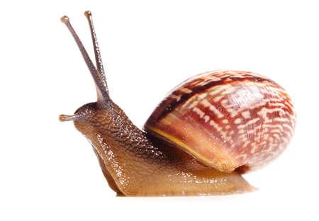 barbel: little snail