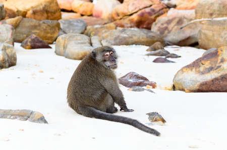 Macaca fascicularis photo