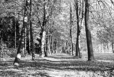 black and white forest: beautiful autumn park view at sunny weather Stock Photo