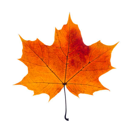 leaf close up: autumn fallen maple leaf isolated on white background