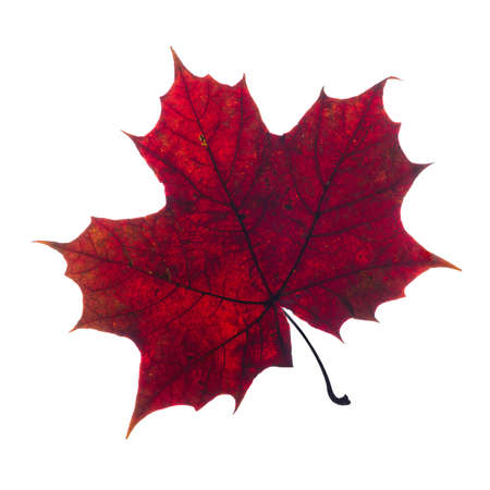 on a white background: autumn fallen maple leaf isolated on white background