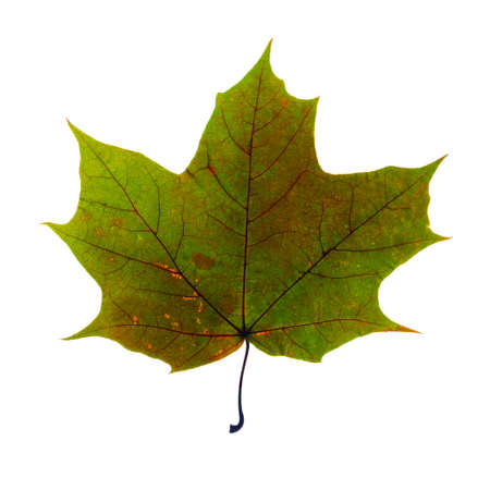 sycamore: autumn fallen maple leaf isolated on white background