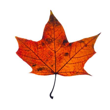 feuille arbre: automne baissé feuilles d'érable isolé sur fond blanc