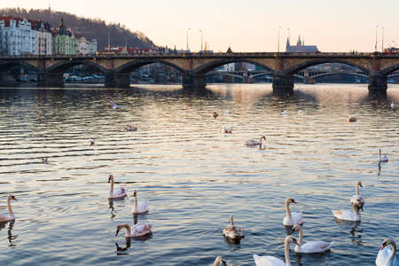 oldtown: sunset view of swans in Vltava river, Prague old town, Czech Republic
