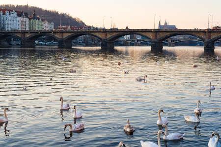vltava: sunset view of swans in Vltava river, Prague old town, Czech Republic