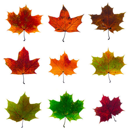 set of autumn fallen maple leaves isolated on white background