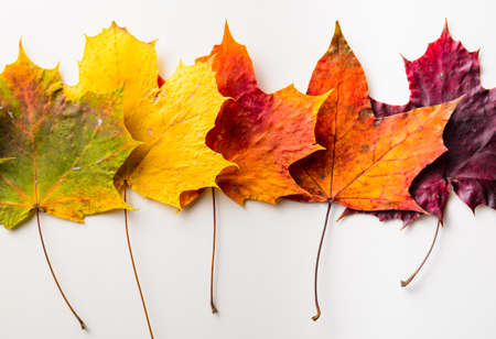 colorful maple trees: autumn fallen maple leaves isolated on white background