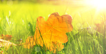 field maple: close up view of autumn leaves on grass Stock Photo