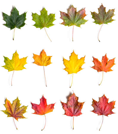 Colección de hojas de arce caídas de otoño de verde a rojo, aislado sobre fondo blanco.