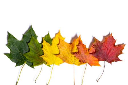 Otoño hojas de arce caídas aisladas sobre fondo blanco Foto de archivo - 107143577