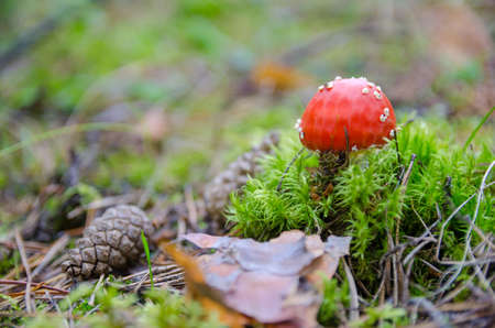 Fly agaric toadstool in moss Stock Photo