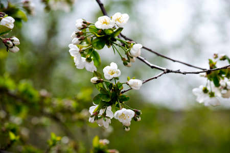 blooming cherry branches in spring, white flowers and young foliage on gray branches.