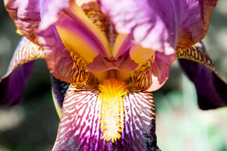purple iris flowers blooming in the garden in spring close-up Stock Photo