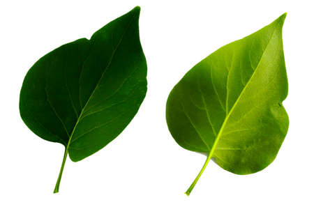 two green leaves of lilac isolated on the white background, top and bottom side of leaf