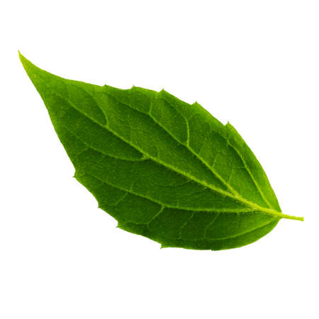 one green leaf of jasmine isolated on the white background, bottom side of leaf Imagens