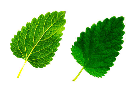 two green leaves of melissa isolated on the white background, the top and bottom side of the sheet