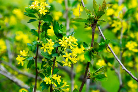 flowering black currant bushes in spring, small yellow flowers against the background of green foliage
