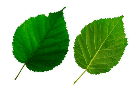 two green leaves of blackberry isolated on the white background, the lower and upper side of the leaf