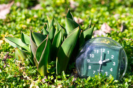 the transition to summer time, the arrival of spring, the clock on the green spring grass next to the young unblown tulip flower on a bright sunny day Stock Photo - 125217491