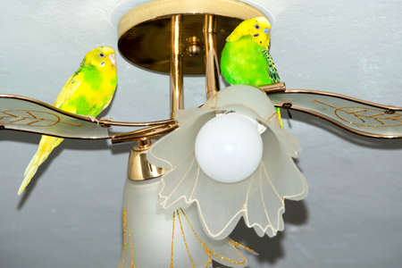 two yellow-green wavy parrots sitting on the ceiling chandelier