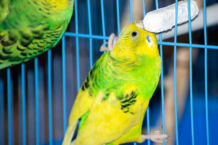 two yellow-green wavy parrots are sitting on a cage