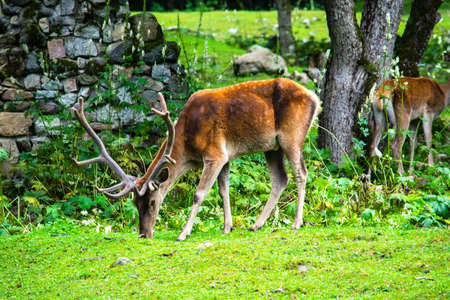 deer grazing on green grass in the forest Фото со стока