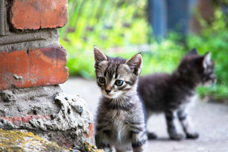 little gray kitten peeks out from behind a brick wall