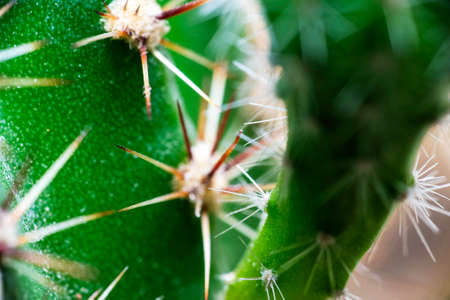 sharp green cactus needles close-up for backdrop backdrop