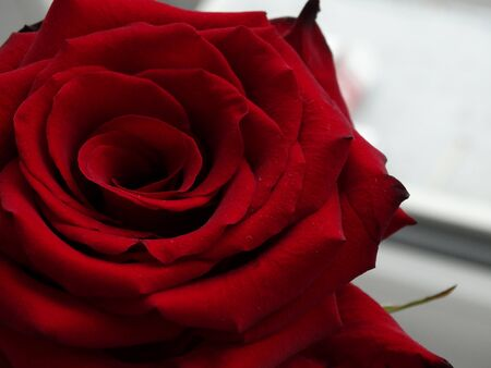 floristics: flower red rose bud petals florist garden Stock Photo