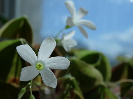 floristics: Home flower Oksalis nature bloom flora botany floristics Stock Photo