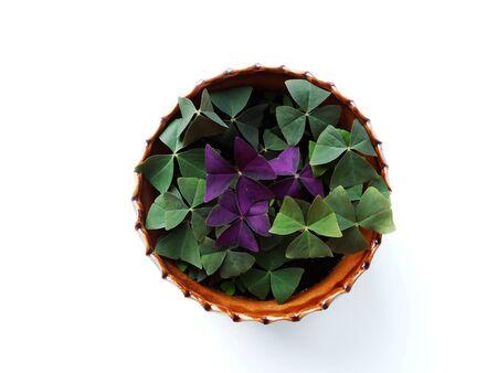 floristics: Oksalis , home flower flora nature floristics botany cultivation Stock Photo
