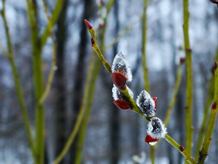 osier: Willow spring nature season spring drops bloom