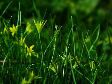floristics: Flower, gagea, bird bow spring nature bloom