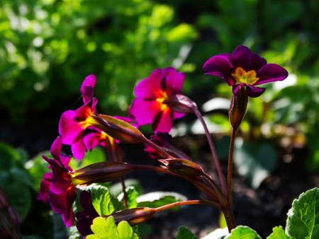 flora: Primrose Flower Garden flora season spring plant Stock Photo